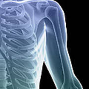 Bones Of The Shoulder And Chest Poster