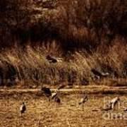 Bosque Del Apache New Mexico-sand Cranes V2 Poster