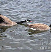 Bossy Canada Goose Poster