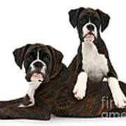Boxer Pups Poster by Mark Taylor