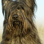 Briard Dog Poster