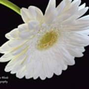 Bright White Gerber Daisy # 2 Poster