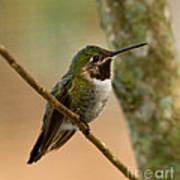 Broad Tailed Hummingbird Poster
