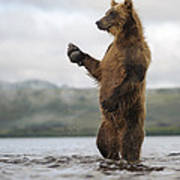 Brown Bear In River Kamchatka Russia Poster