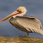 Brown Pelican Portrait California Poster