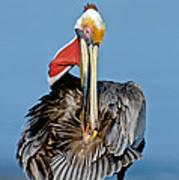 Brown Pelican Preening Poster