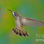 Brown Violet-ear Hummingbird Poster