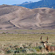 Buck At Great Sand Dunes Poster