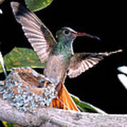 Buff-bellied Hummingbird At Nest Poster