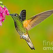 Buff-tailed Coronet Hummingbird Poster