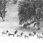 Bull Elk With Harem Poster