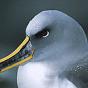 Bullers Albatross With Colorful Bill Poster