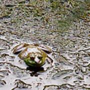 Bullfrog In The Mud Poster
