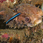 Burrfish And Cleaner Goby Poster