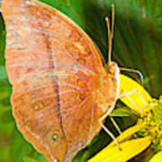 Butterfly Mimicry Poster