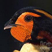 Cabots Tragopan Pheasant Poster