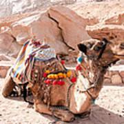 Sitting Camel Poster