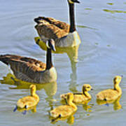 Canadian Goose Family Poster