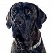 Cane-corso Dog Portrait Poster