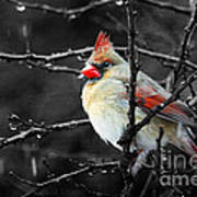 Cardinal On A Rainy Day Poster