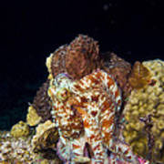 Caribbean Reef Octopus II Poster