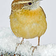 Carolina Wren In Winter Poster