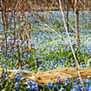 Carpet Of Blue Flowers In Spring Forest Poster
