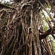 Cathedral Fig Tree Poster