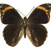Catoblepia Xanthus Butterfly Poster