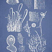 Ceratodictyon Spongiosum Zanard Poster by Aged Pixel