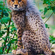 Cheetah Cub On A Rock Poster
