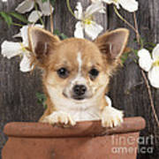 Chihuahua Dog In Flowerpot Poster