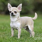 Chihuahua Dog Poster