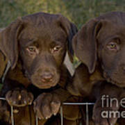 Chocolate Labrador Retriever Pups Poster by Linda Freshwaters Arndt