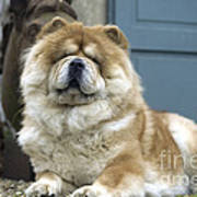 Chow Chow Dog Poster