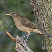 Clay-colored Thrush Poster