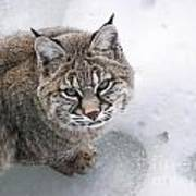 Close-up Bobcat Lynx On Snow Looking At Camera Poster