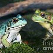 Close-up Of Blue And Green Frogs Poster