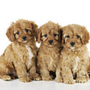 Cockapoo Puppy Dogs Poster