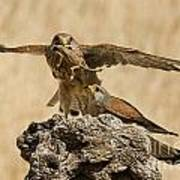 Common Kestrel Falco Tinnunculus Poster