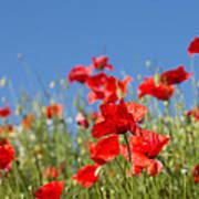 Common Poppy Flowers Poster