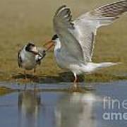 Common Tern Sterna Hirundo Poster by Eyal Bartov