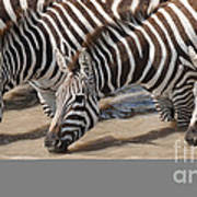 Common Zebras Drinking Water Poster
