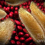 Conceptual Image Of Paramecium Poster by Stocktrek Images