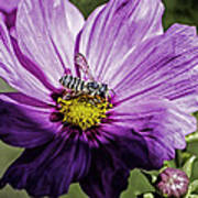 Cosmos Flower And Bee Poster