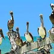 Crowd Of Brown Pelicans Perched On An Old Peer Poster