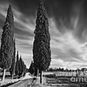 Cypress Trees- Tuscany Poster