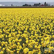 Daffodil Field Poster