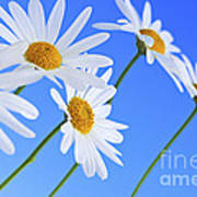 Daisy Flowers On Blue Background Poster