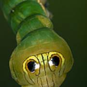 Dead-leaf Moth Caterpillar Eye Spots Poster